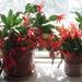 Orange flowering cactus plants on sunny windowsill.