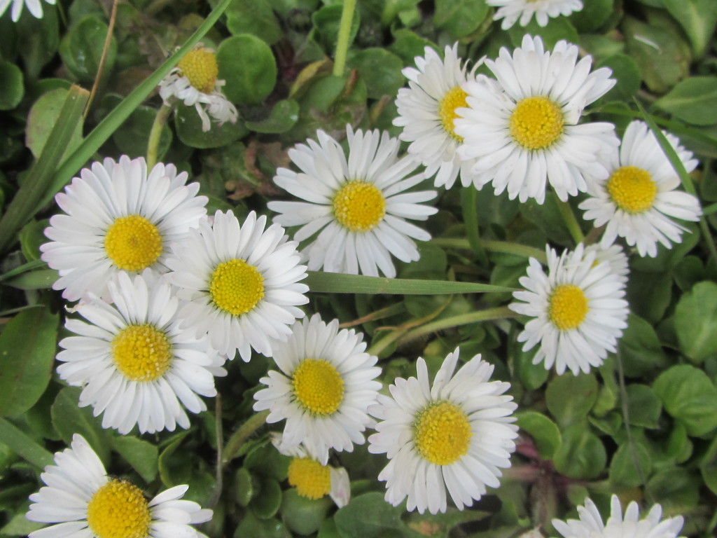 Daisies. by grace55