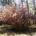 Kwanzan cherry tree...