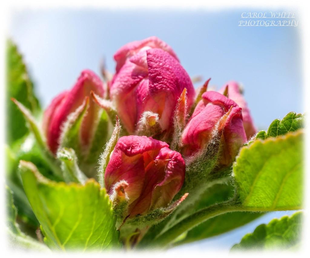 Budding Apple Blossom by carolmw