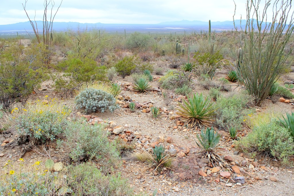 Ancient Native American Agave Garden by blueberry1222