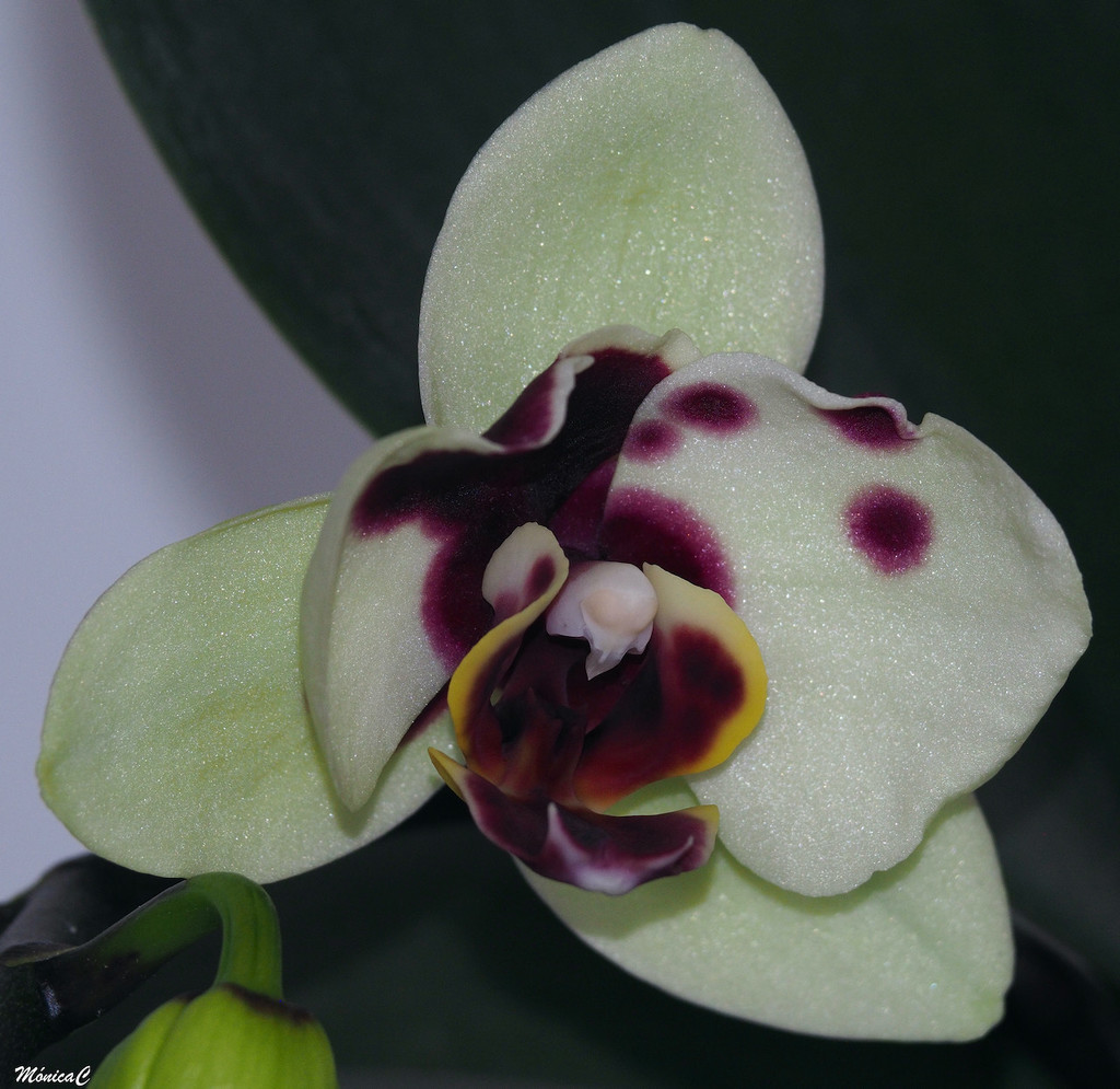 Spotted phal by monicac