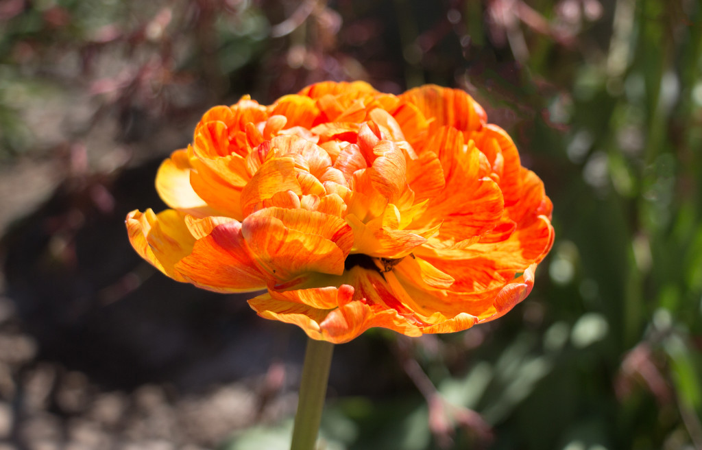 Tulip in the sun by busylady