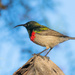 Lesser Double Collared Sunbird by seacreature