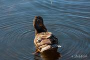 22nd Apr 2021 - Duck