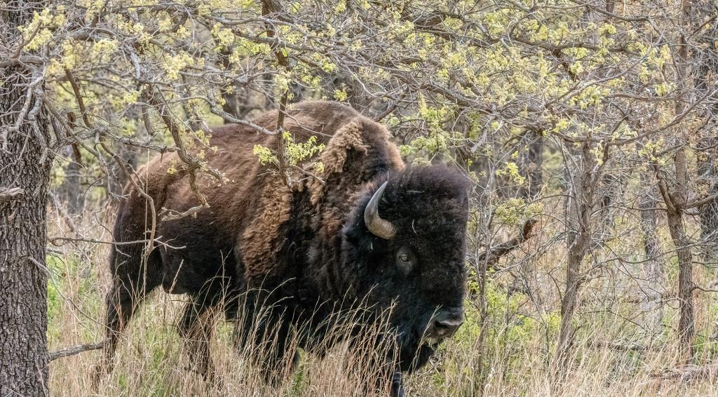 Bison by samae