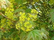 23rd Apr 2021 - flowering tree