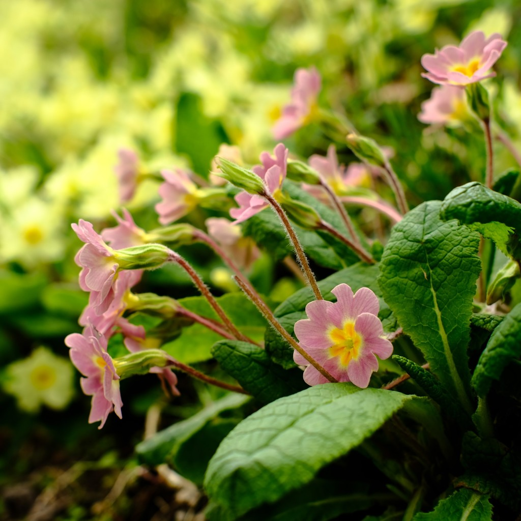 Primrose Pink by 4rky