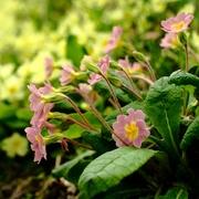 23rd Apr 2021 - Primrose Pink