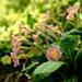 Primrose Pink