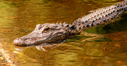 22nd Apr 2021 - A Gator in the Pond!
