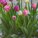 tulips and forget-me-nots in a pot