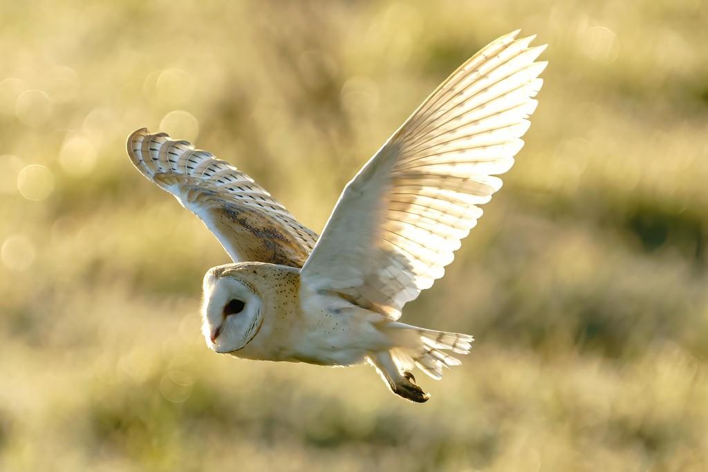 Barn Owl  by padlock