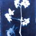 Apple Blossom Cyanotype