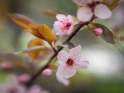 23rd Apr 2021 - Cherry blossoms