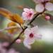 Cherry blossoms  by haskar