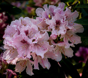 23rd Apr 2021 - Rhododendron