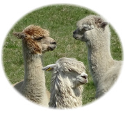 24th Apr 2021 - alpacas