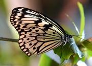 22nd Apr 2021 - The White Monarch