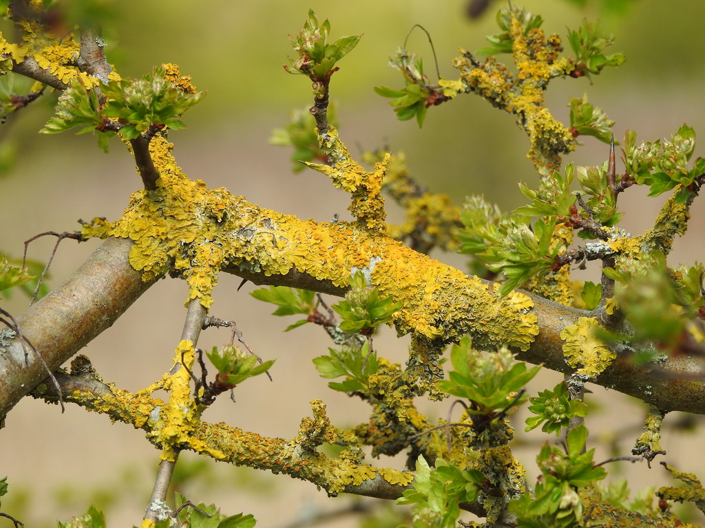 Lichen and New Leaves by oldjosh