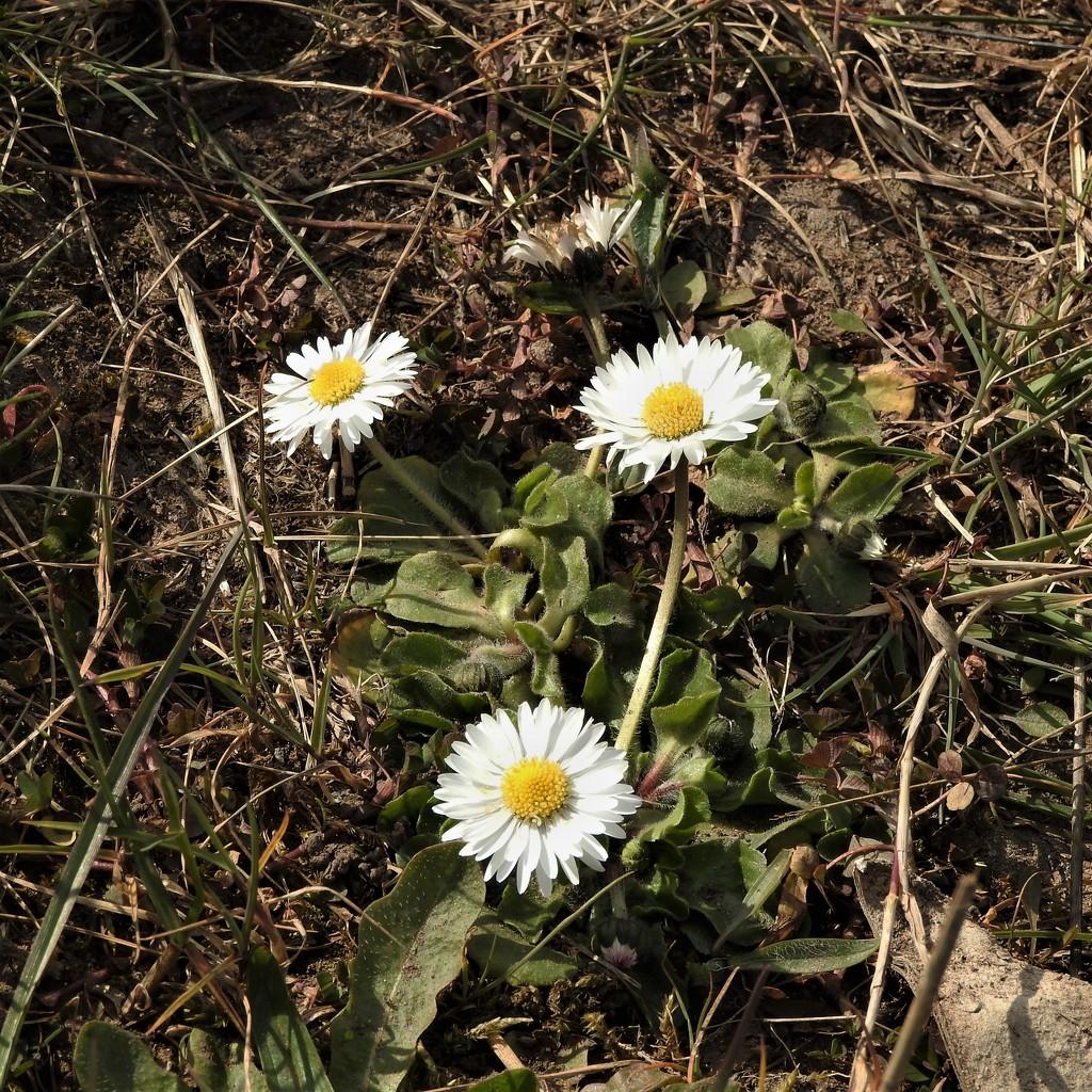 Daisys by oldjosh