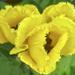 Tulips. fringed Hybrid by tonygig