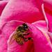 La vie en rose by jaybutterfield