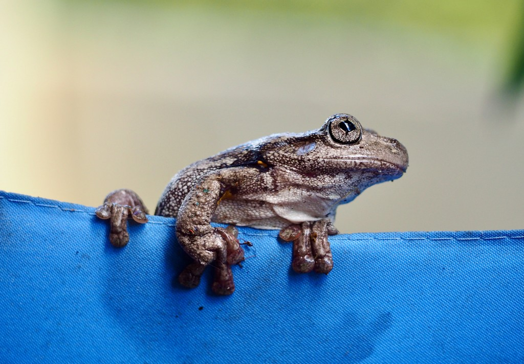 Peron's Tree Frog by sabine