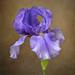Purple Iris by lynne5477