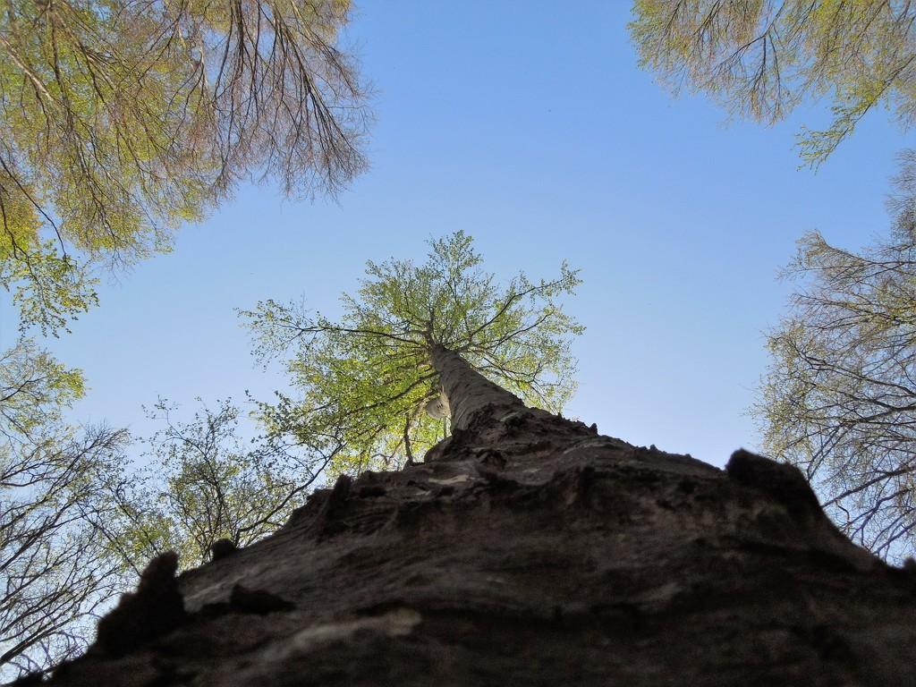 Poplars by etienne