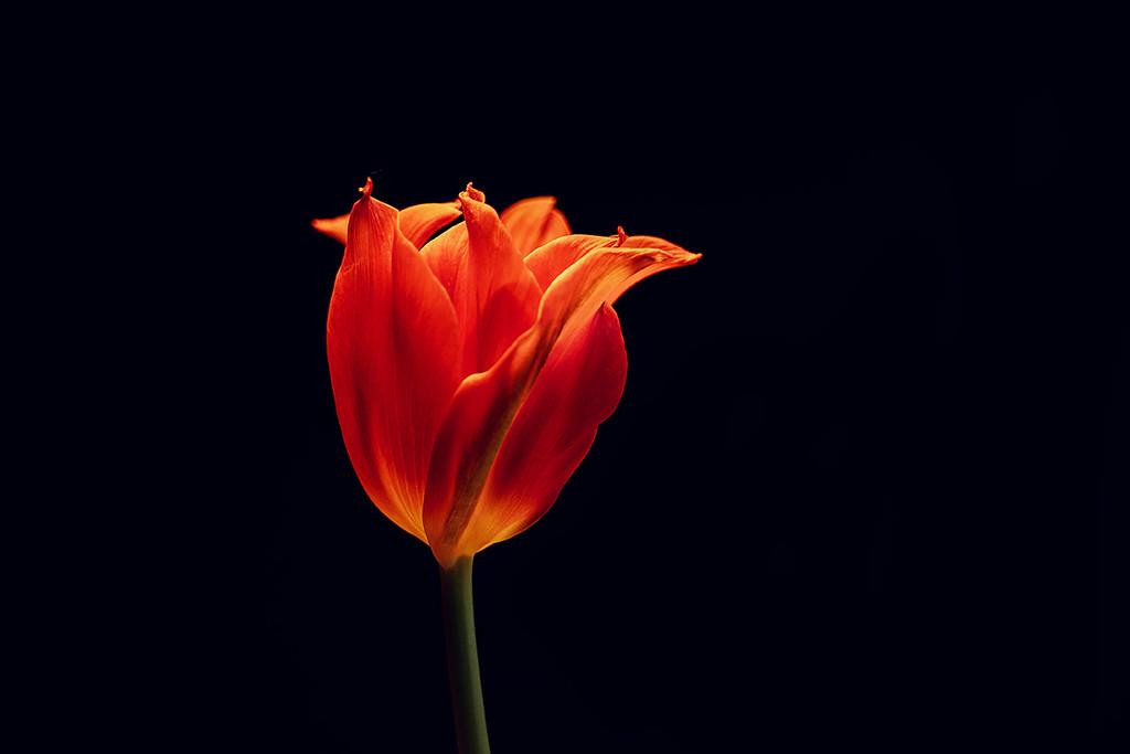 Tulip  by katarzynamorawiec