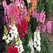 Colorful snap dragons