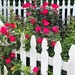 Picket fence and roses