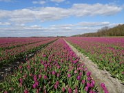 26th Apr 2021 - tulips