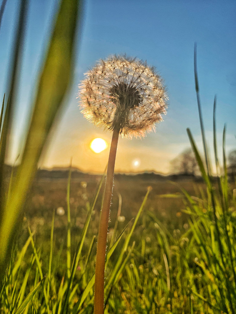 Dandelion at sunset.  by cocobella