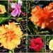 Autumn Hibiscus Flowers ~ by happysnaps