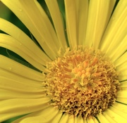26th Apr 2021 - Yellow daisy in the rain