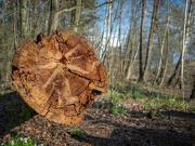 25th Apr 2021 - A tree cut down