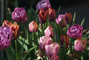 25th Apr 2021 - Tulip Time