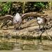 Argumentative Birds