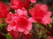 27th Apr 2021 - Coral azaleas...