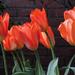 Some pretty tulips