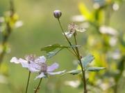 14th Apr 2021 - More dewberry blossoms...