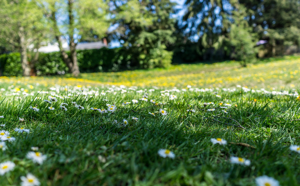 little daisies white that dot the meadow by cristinaledesma33