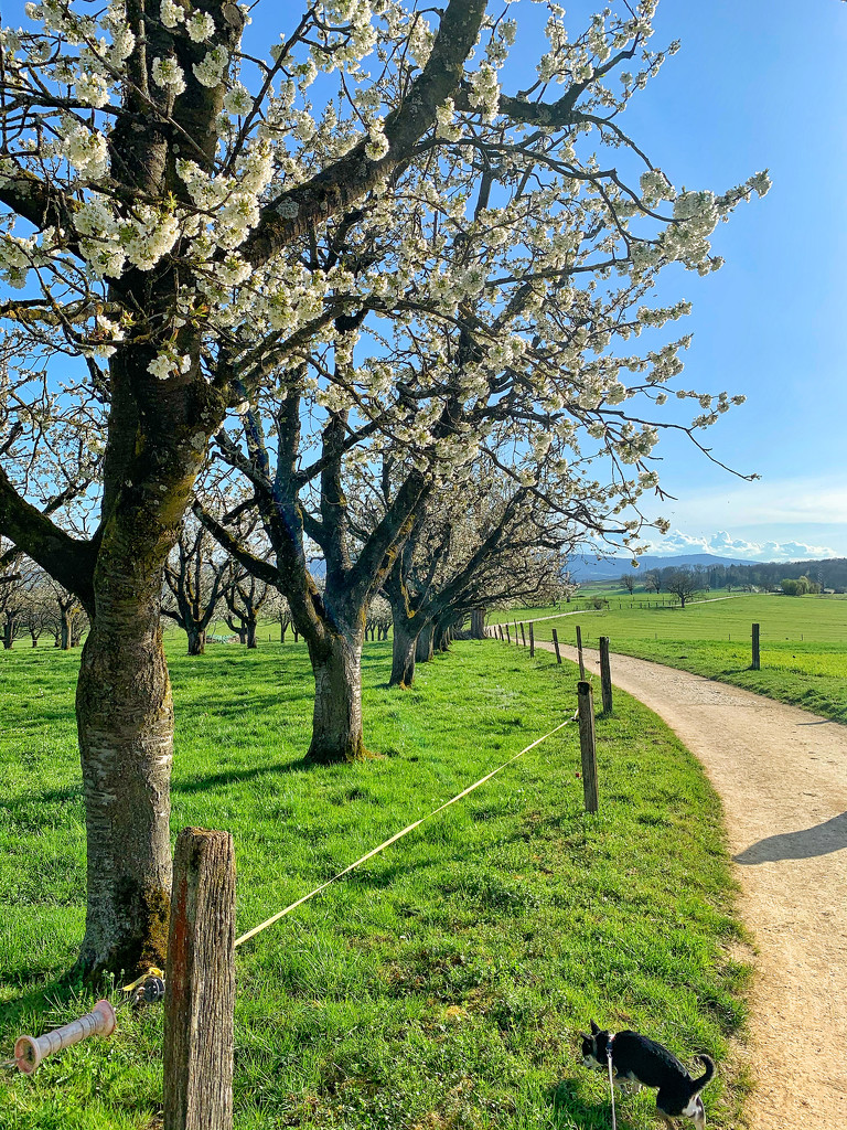 Walking by the cherry trees.  by cocobella