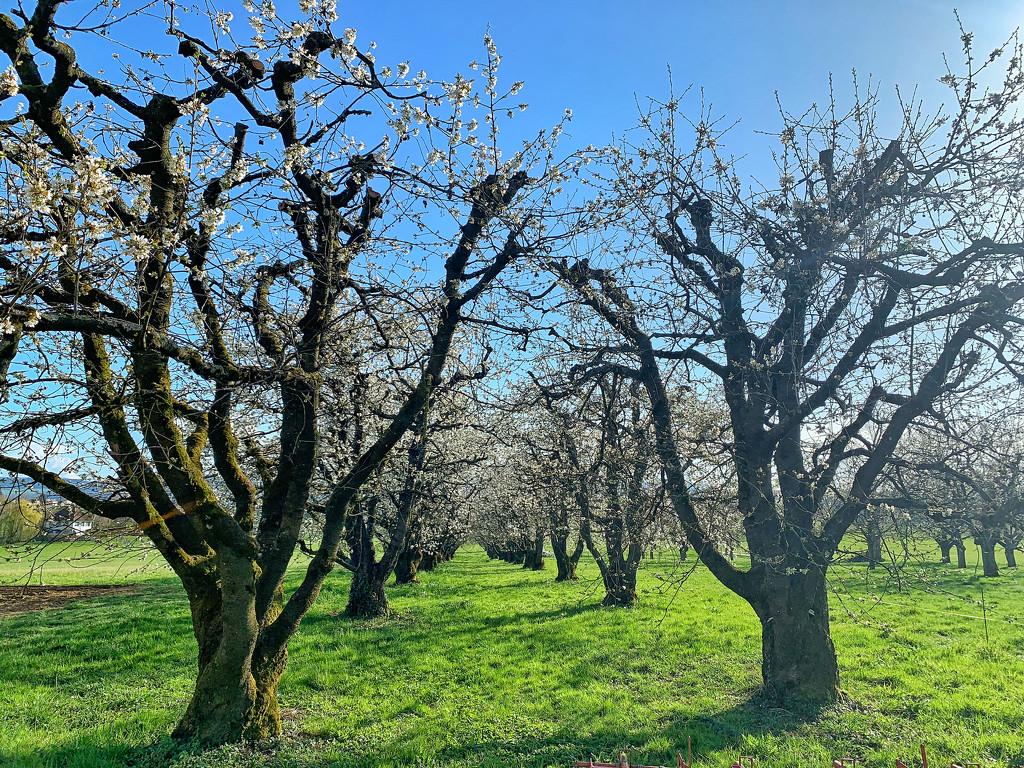 Cherry trees.  by cocobella
