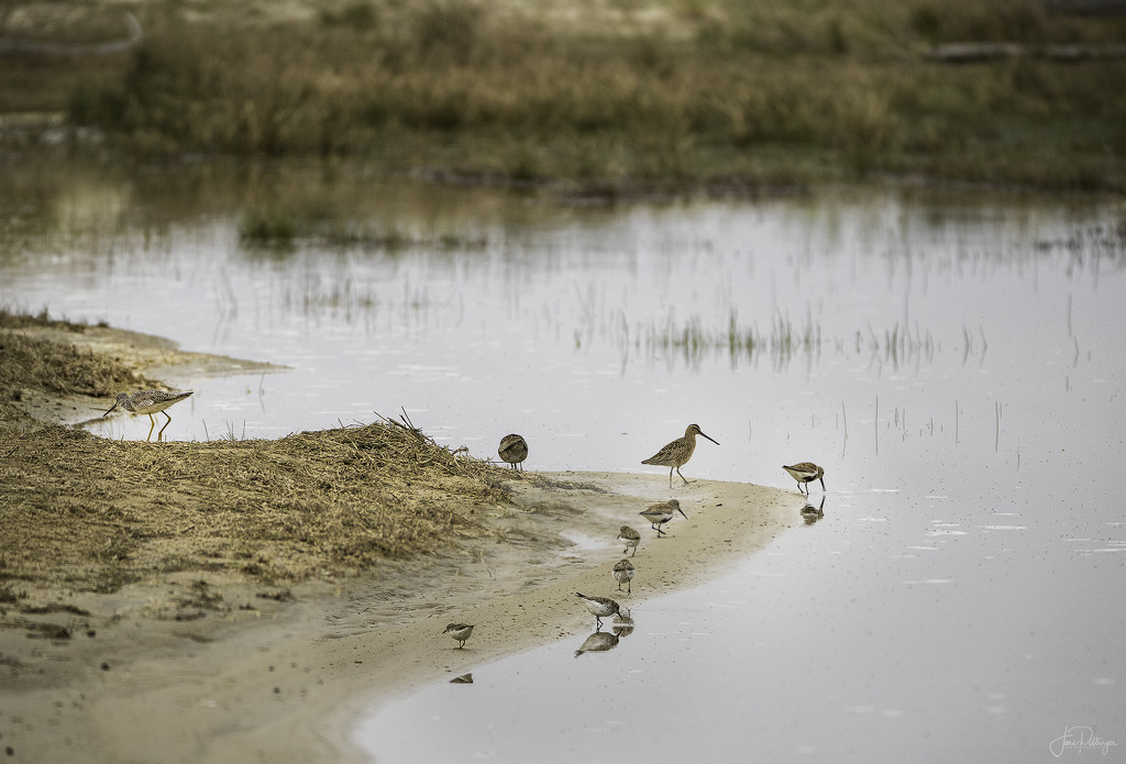 Yellowlegs and Sanderlings Eating Together by jgpittenger