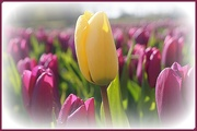 27th Apr 2021 - one yellow tulip