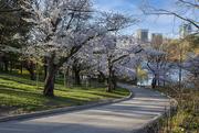 26th Apr 2021 - High Park Cherry Blossoms