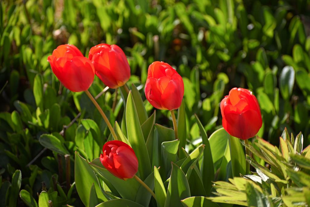 My Tulips by bjywamer